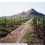 Vineyard Shortly after Establishment at Chateau Indage, India