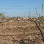 Sprouting of Vines after DORMEX Application, Egypt