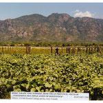 Vine Nursery for Rootstock Multiplication (SEDEC Project), Vietnam