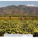 Vine Nursery for Rootstock Multiplication (SEDEC Project), Vietnam