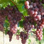 Muscat Grapes ex Myanmar, Hua Hin Hills Vineyards, Thailand