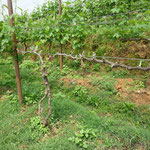 Vines With (left, background) and Without (front) Dormex Application at Kewalpoor Vineyards, Nepal