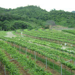 Table Grape Vineyards at Hua Hin Hills, Thailand