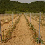 Vineyards at Hua Hin Hills Shortly After Establishment, Thailand