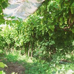 Y-System Trellis for Table Grape Production - Note Shading to Avoid Sunburn, India