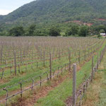 Vines Pruned For The Vegetative Season, Hua Hin Hills, Thailand