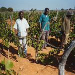Vineyard for Brandy Production in Dodoma, Tanzania