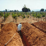 Establishment of Rainfed Vineyards (without irrigation) With Two Crops per Year, Dodoma, Tanzania