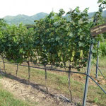Adapted Trellis System - Chenin Blanc, Hua Hin Hills, Thailand