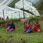 Field Workers Among Gewürztraminer Vines at Kaule Vineyards, Nepal