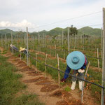 Manual Fertilizer Application for Young Vines, Hua Hin Hills, Thailand