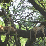 Lion on the tree Lake Manyara Nationalpark