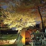 夜桜の下でキャンプ