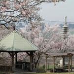 場内の桜02