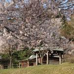 場内の桜01
