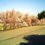 キャンプ場「駐車場」の桜(ピンクの花がとてもきれいです)