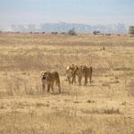 Natürlich gab es neben vielen anderen Tieren auch Löwen zu sehen!