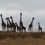 Giraffen auf dem äußeren Rand des Ngorongoro-Kraters. Im Krater gibt es sie normalerweise nicht.