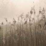 Roseaux dans la brume.
