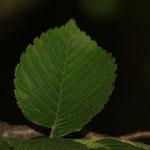 liści Wiąz szypułkowy