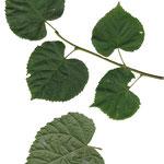 liści Lipa drobnolistna