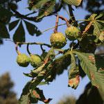 Früchte Gewöhnliche Rosskastanie