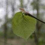 Blätter Sommer-Linde