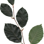 listy Buk lesní