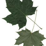 Blätter Spitz-Ahorn