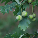 Früchte Stiel-Eiche
