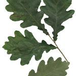 liści Dąb szypułkowy