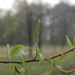 Blüte Bruch-Weide