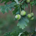 plody Dub letní