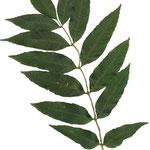 Blätter Gewöhnliche Esche