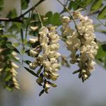 květy Trnovník akát