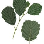 liści Olsza czarna