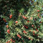 Früchte Gewöhnliche Eibe