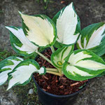 Hosta 'Reversed Patriot'