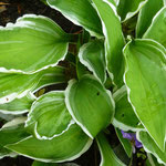 Hosta 'Gingo Graig'