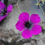 Geranium psilostemon 'Dragon Heart'