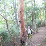 大木のヒメシャラ