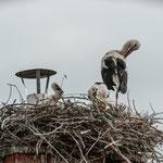 Storchenpaar mit 3 Jungstörchen am 26.06.2018 - Foto: Stefan Scheibe