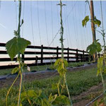 Virginia Grown Hop Bines