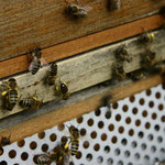 apiculture abeille grenoble
