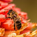apiculture abeille eybens