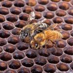apiculture brié