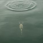 THE DIVER (Great Crested Grebe / Haubentaucher) - Zurich, Bellevue