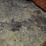 Porzione di foglia fossile.