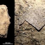 Echinoderma rinvenuto nella parete calcarenitica di loc. Pisciarello. Riccio regolare.