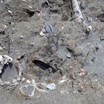 Scorcio di suolo della cava: si notano Vermetidae, Veneridae, Turritellidae, Ostreidae e frammenti di bivalvi più piccoli.